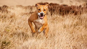 Картинки Собака Поля Траве Бег Амстафф