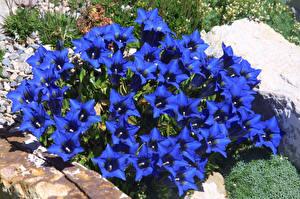 Фото Колокольчики - Цветы Много Синий Цветы