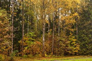 Обои Санкт-Петербург Россия Времена года Осень Парки Деревья Березы Pavlovsk Природа фото