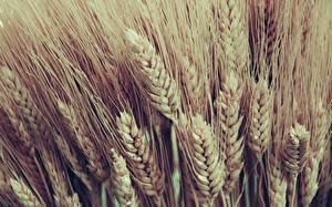 Картинка Вблизи Много Пшеница Колосья Природа