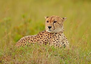 Обои Гепарды Большие кошки Трава