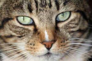 Фото Коты Глаза Крупным планом Взгляд Усы Вибриссы Морда Нос животное