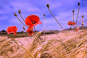 Обои Поля Мак Вблизи Пшеница Колосок цветок