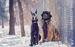 Картинка Собака Зима Доберманы Снега Двое Забор Животные