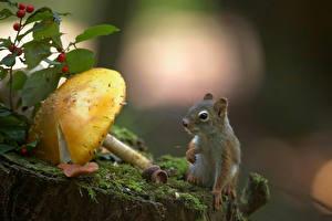 Картинки Белки Грибы природа Мох Животные