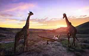Обои Жирафы Небо Вдвоем Юмор Животные