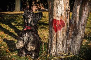 Фотография Собаки Китайская хохлатая Сердечко 1ZOOM Животные