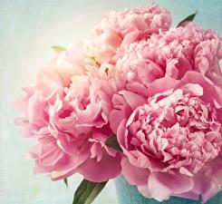 Фотографии Пионы Вблизи Розовая Цветы
