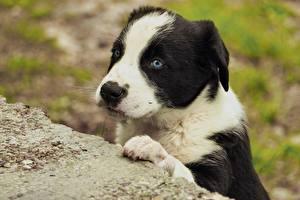 Картинка Собаки Щенок Бордер-колли Животные