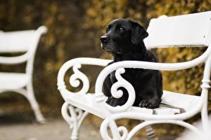 Обои Собака Скамейка Ретривер Черная животное