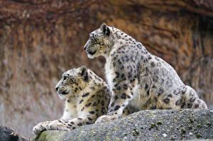 Фотографии Ирбис Две Животные