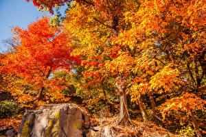 Обои для рабочего стола Сезон года Осенние Дерево Листья Оранжевая Природа