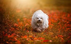Фото Собаки Осенние Белый Листва Трава Гаванский бишон Havanese Природа