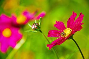 Фотография Пчелы Космея Насекомое Вблизи Цветы