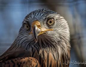 Картинки Птица Орел Клюв Взгляд Животные