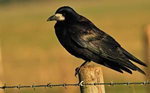 Картинки Вороны Птицы Крупным планом Животные