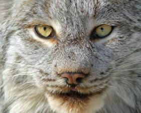 Фотография Рыси Глаза Морда Смотрит Нос Животные