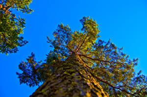 Обои Деревья Ствол дерева Вид снизу Природа фото