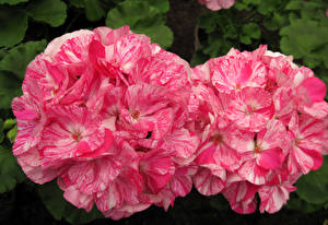 Фотография Журавельник Вблизи Розовые Вдвоем