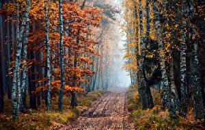 Обои Времена года Осень Леса Тропа Деревья Березы Природа фото