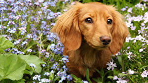 Картинка Собаки Такса Смотрит