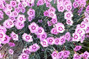 Фотографии Гвоздики Крупным планом цветок