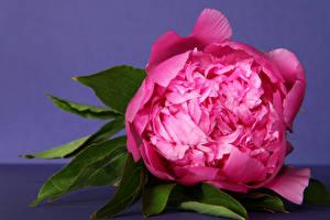 Фотография Пионы Крупным планом Розовый Цветы