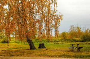 Обои Россия Времена года Осень Деревья Трава Листья Березы Природа фото