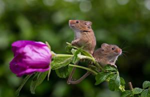 Фотографии Мыши Розы Цветы