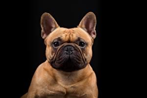 Обои Собаки Французский бульдог Бульдог Взгляд Черный фон Животные фото