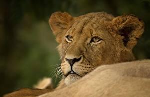 Обои Львы Взгляд Животные фото