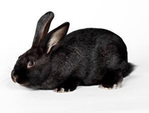 Картинка Кролики Вблизи Черный животное