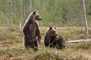 Фото Медведь Гризли Двое Трава Животные