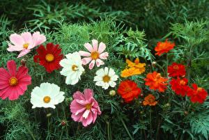 Картинки Космея Крупным планом цветок