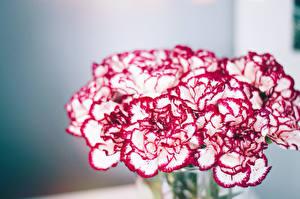Фотография Гвоздика Крупным планом Цветы