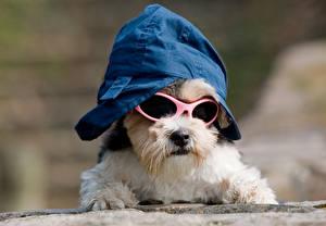 Картинки Собаки Щенок Йоркширский терьер Кепка Очки