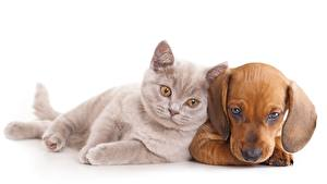 Картинка Кошки Собаки Котята Такса