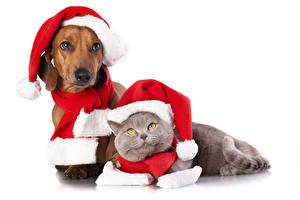 Обои Собаки Кошки Рождество Такса Шапки