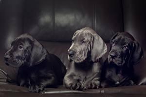Фотография Собака Немецкий дог Щенок Втроем животное