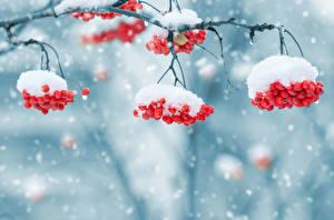 Фото Зима Ягоды Рябина Снег Ветки