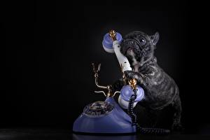 Обои Собаки Французский бульдог Щенок Бульдог Черный Телефон Черный фон Животные фото