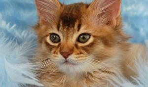 Картинка Кошки Глаза Рыжая Смотрит Животные