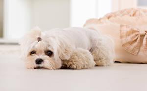 Картинка Собаки Болоньез Белый Щенка