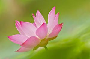 Картинка Лотос Крупным планом Розовые цветок