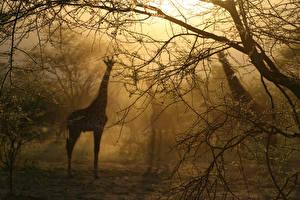 Картинки Жирафы Туман Силуэт Деревья Ветки Животные