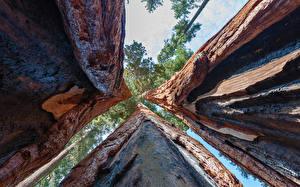 Обои Крупным планом Деревья Ствол дерева Вид снизу redwood sequoia Природа фото