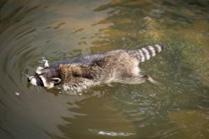 Обои Еноты Вода Плавает Животные
