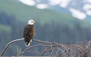Фотография Птицы Ястреб Белоголовый орлан Ветка