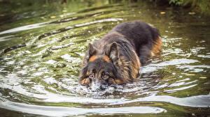 Обои Собаки Воде Овчарка Плывут Животные