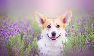 Картинка Собака Вельш-корги Взгляд Животные